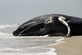 First Whale Dies in Gulf of Mexico Since BP Oil Spill