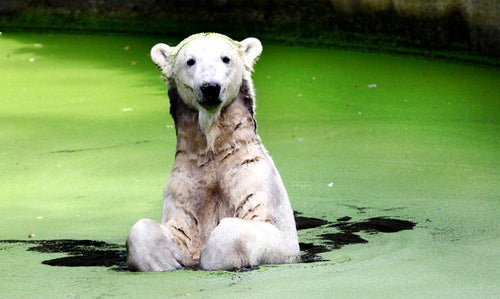 Knut the Polar Bear Bullied in Berlin Zoo