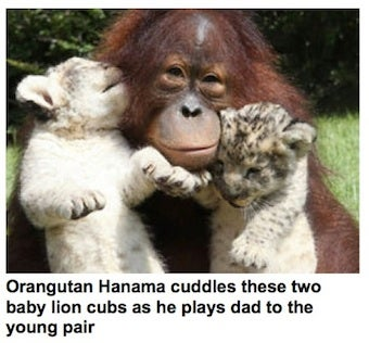 Orangutan Adopts Lion Cub, World Squees