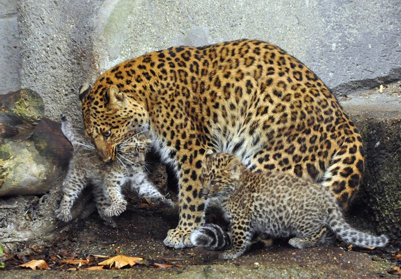Double Trouble For Chinese Panther