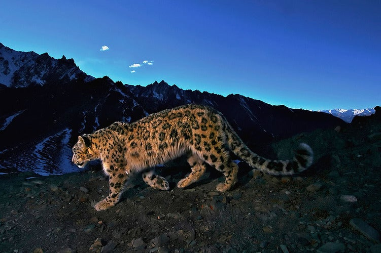 Capturing a Snow Leopard Is As Hard As Making One