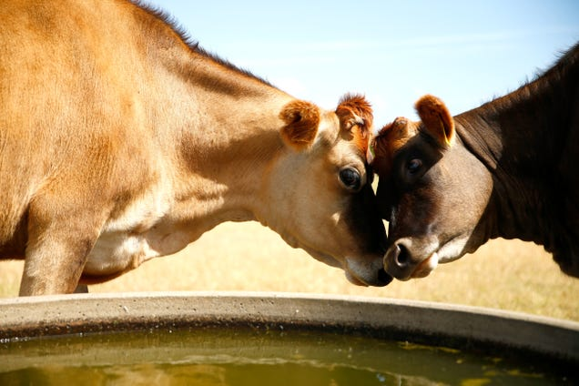 Cows Are Deadlier Than You Ever Knew