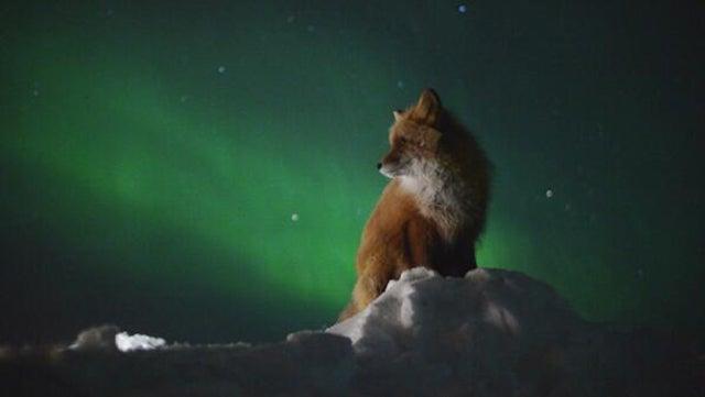 Cute arctic fox contemplates a massive solar wind storm hitting Earth