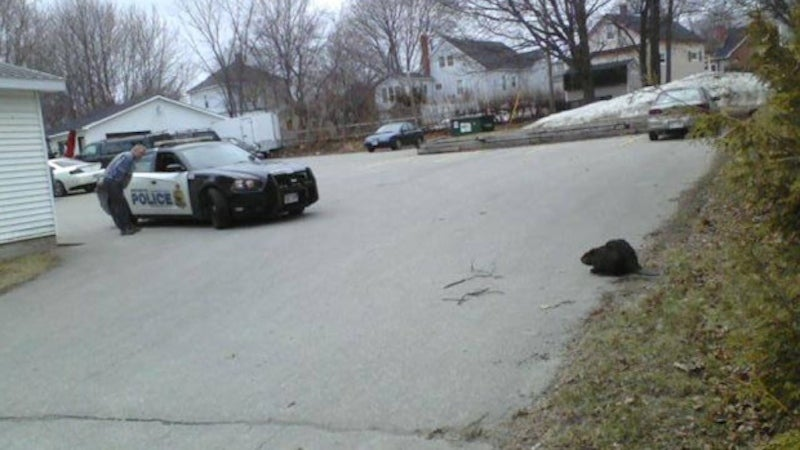 Angry Beaver Stops Traffic To Protest Climate Change
