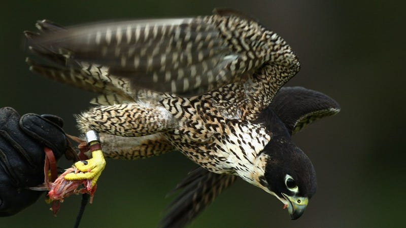 Sports Radio Caller's Rant Interrupted By Falcon Attack