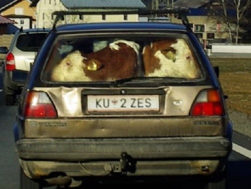 Austrian Uses VW Golf To Mooove Calves