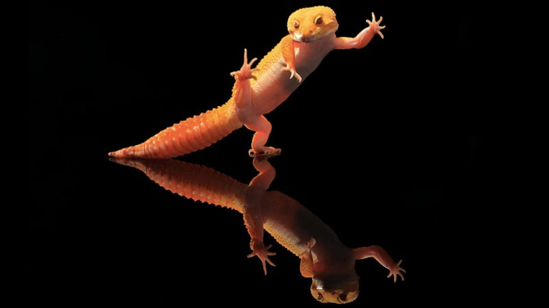 Kung fu Gecko will kick your ass first, ask questions later