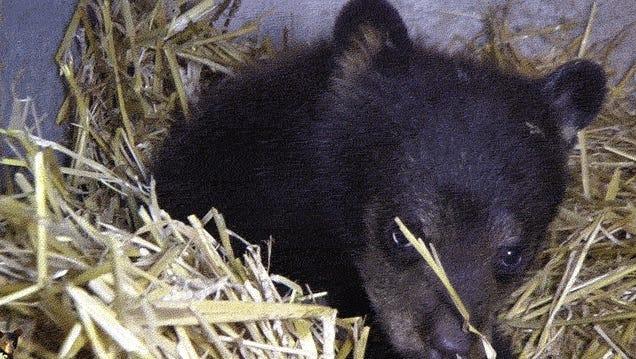 When Bears Go To Rehab