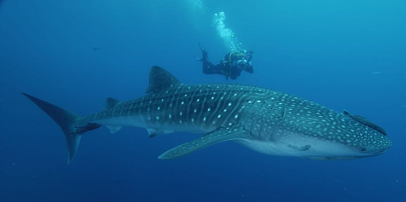 ODeck Shark Week: Learning Stuff Despite The Discovery Channel