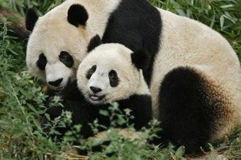 National Zoo Panda Pregnancy Mania Has Officially Begun