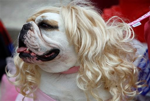 Scenes From The Bulldog Beauty Pageant