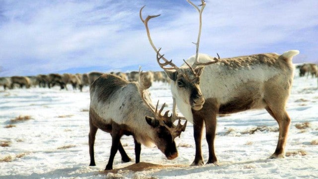 Reindeer are the only mammals that can see ultraviolet light