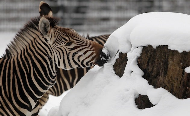 Adorable Zebra Sticks His Nose Where It Doesn't Belong