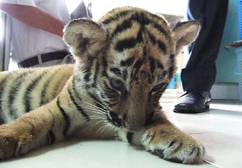 Sedated Tiger Cub Found Inside Luggage with Stuffed Animals