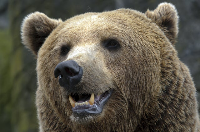 Bear Mauls Car In Search of Chicken McNuggets