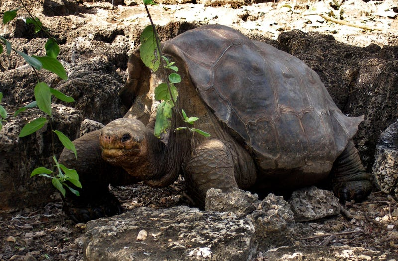Lonesome George, the World's Rarest Giant Tortoise, Found Dead