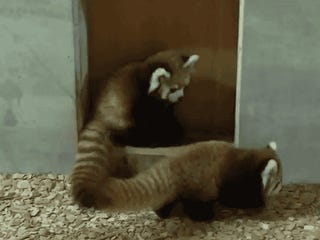 Wow, the Red Pandas are really going over well.