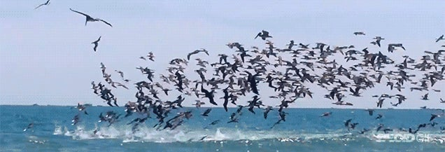 Amazing video shows hundreds of pelicans diving into a feeding frenzy