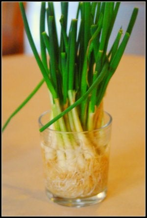 Regrow Scallions in a Cup of Water