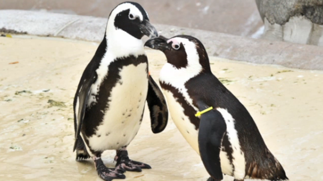 Separating Gay Penguin Duo Pedro and Buddy Turned Them Straight