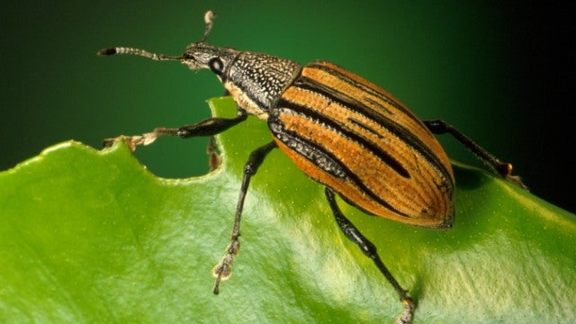 Weevil beetles have legs that are just like tiny screws