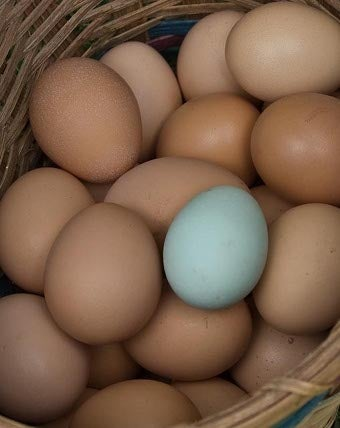 Martha's Fancy Chickens Lay Blue Eggs