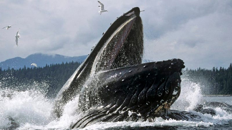 Whales have a sensory organ unlike anything we've ever seen