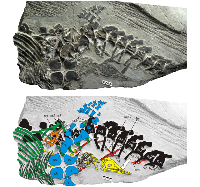This dramatic fossil shows an ancient marine reptile giving birth