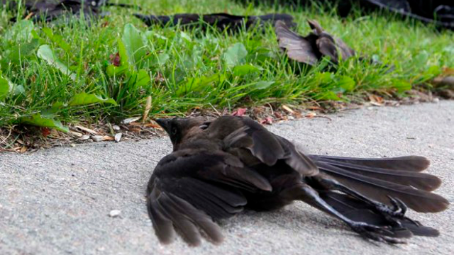 Dozens of dead and disoriented birds 'fall like rain' over Winnipeg