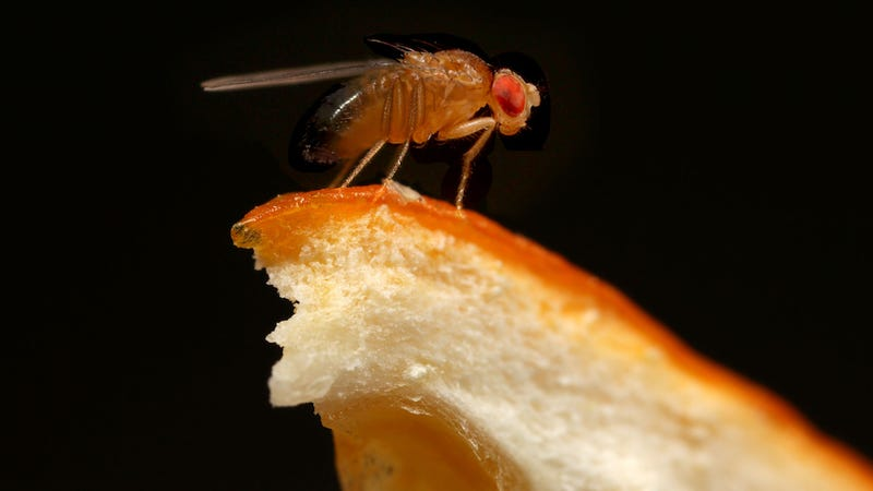 If you want to discourage fruit flies, hide your oranges