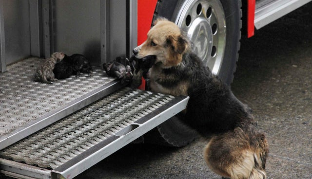 Wonder Dog Places Pups in Fire Truck After Carrying Them Out of Burning House One by One