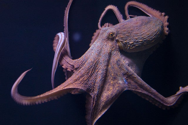 Scientists Discover How Octopuses Avoid Tying Themselves In Knots