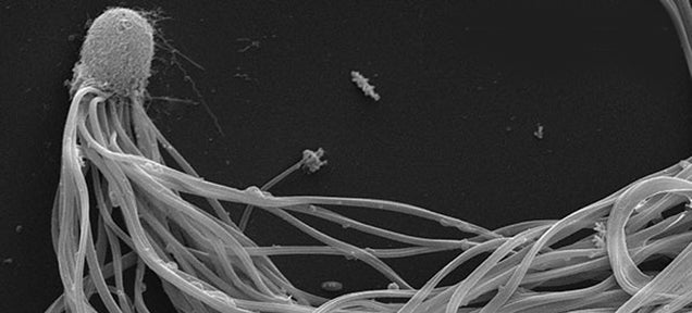 Ant sperm can swim faster than other sperm because it works as a team