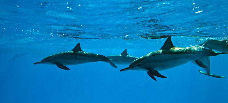 All About the Military Dolphins of the US (And Now Russia)