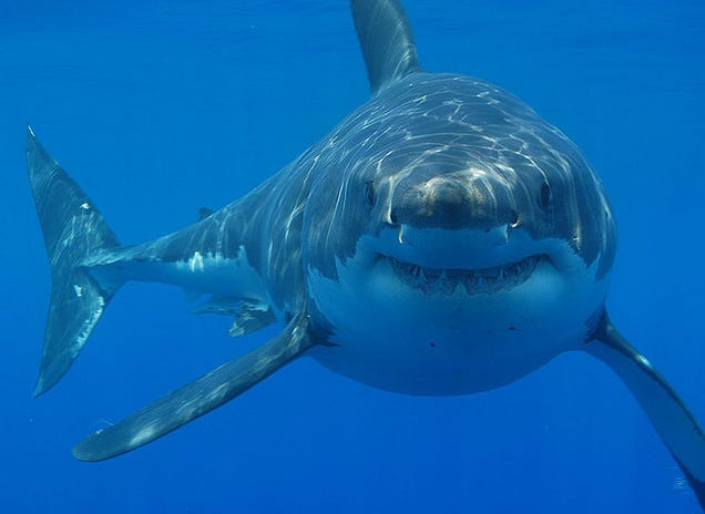 Ask A Marine Biologist All Your Questions About The Lives Of Sharks!
