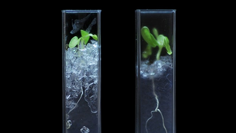 See-Through Soil Reveals the Secret Lives of Roots