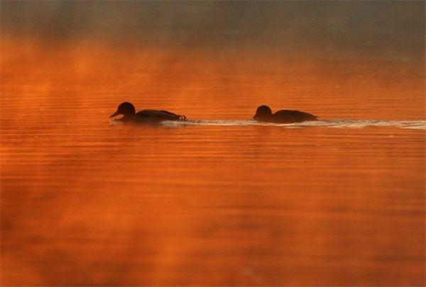 Duck, Duck... No Goose