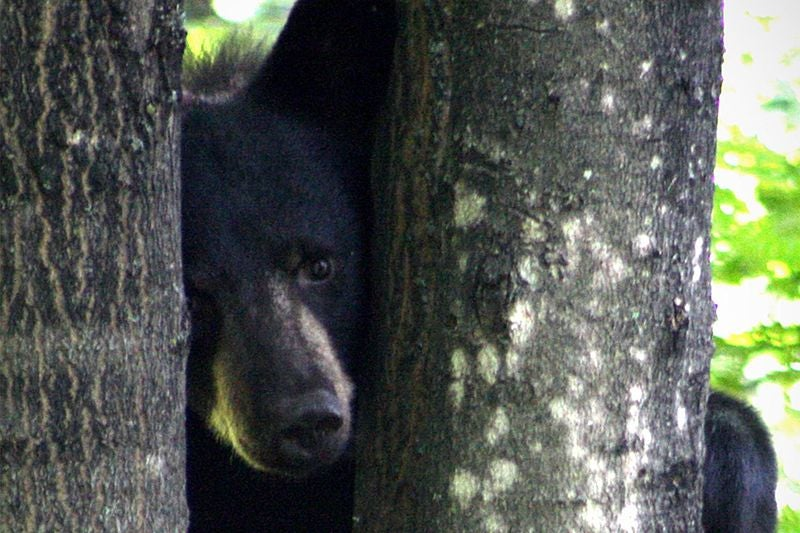 Black Bear Safely Relocated After Sneaking Onto NIH Campus