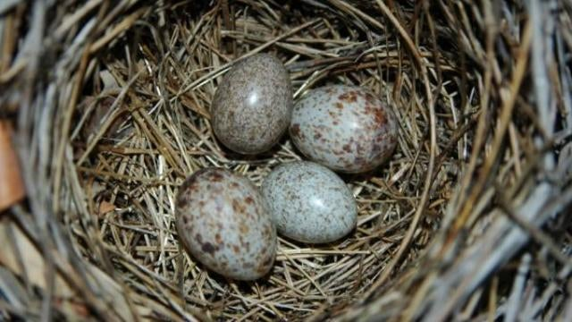 Nest stealing cuckoo birds are locked in evolutionary war with their would-be victims