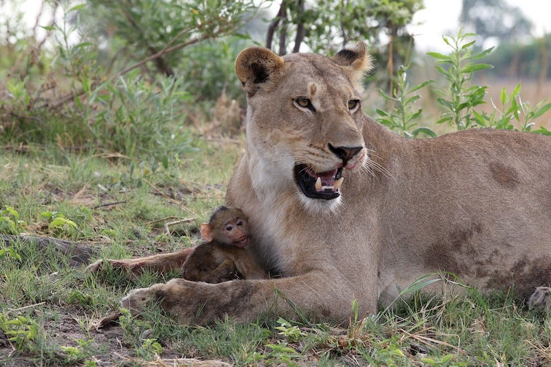 Harrowing Photos Capture Tense Encounter Between Baby Baboon And Lion