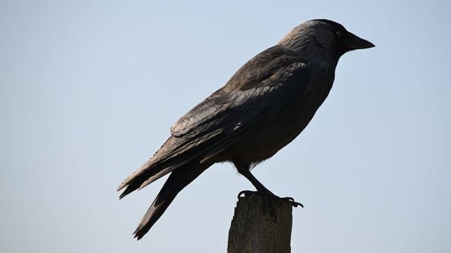 Science shows that crows are the biker gangs of the sky