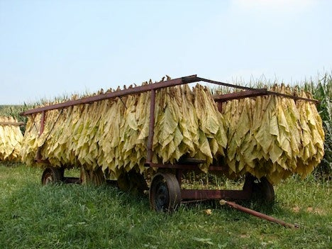 Tobacco Plants Used to Grow Cheap Solar Cells