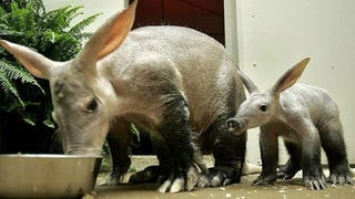 Why The Aardvark May Be The Strangest Creature On Earth