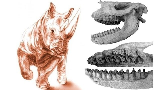 9.2 million year old Rhino skull discovered in volcanic ash
