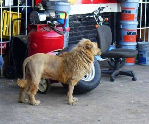 Who Keeps A Lion In The Garage!? Wait, What?