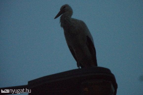 Megjött az első gólya Szombathelyre