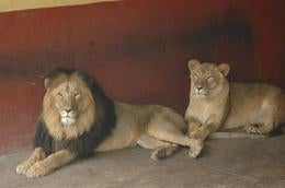 New species of lion discovered at Ethiopian zoo