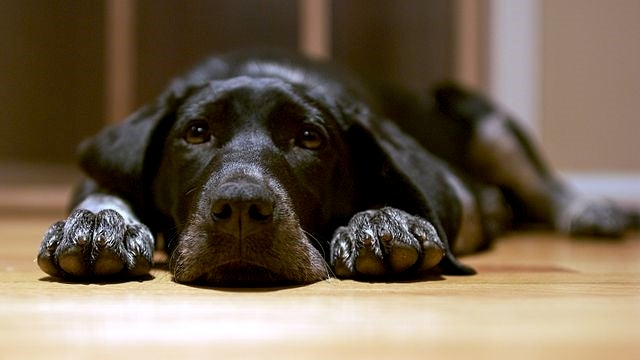 Black Dog Syndrome Teaches Us a Crucial Lesson About Science