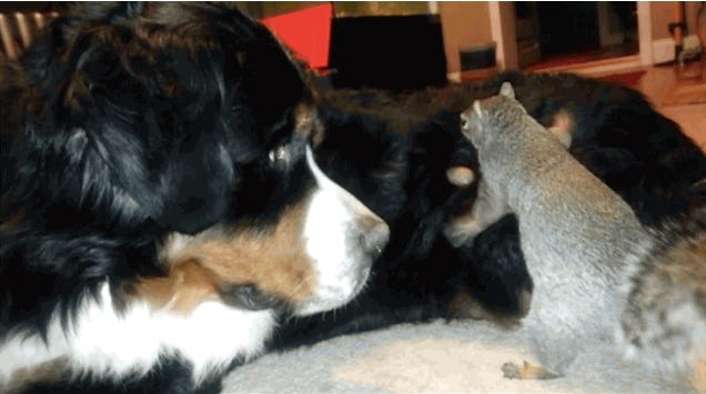 A squirrel attempts to hide a nut in the fur of a Bernese mountain dog