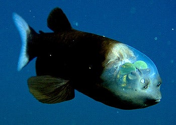 A Fish With a Transparent Head